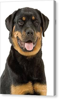 Rottweiler Dog Canvas Print by Jean-Michel Labat