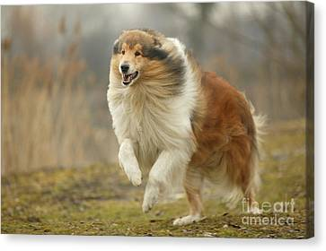Scottish Dog Canvas Print - Rough Collie by Jean-Michel Labat