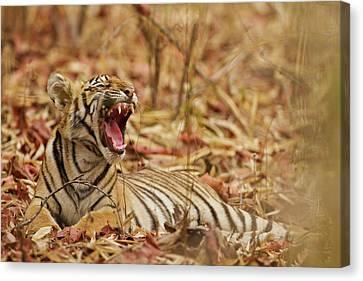 Royal Bengal Tiger Cub Yawning, Tadoba Canvas Print