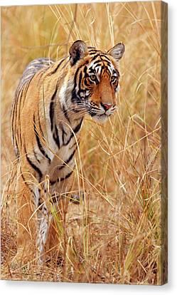 Royal Bengal Tiger Watching Canvas Print by Jagdeep Rajput