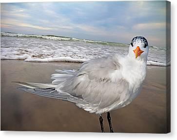 Royal Tern Canvas Print