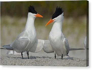 Royal Terns Canvas Print by James Petersen