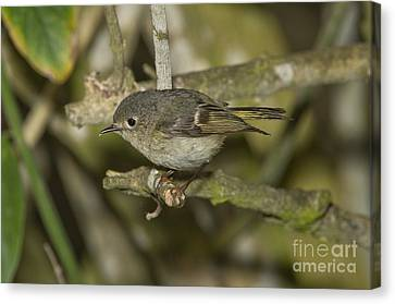 Ruby-crowned Kinglet Canvas Print