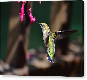 Ruby Throat Hummingbird Canvas Print