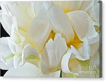 Canvas Print featuring the photograph Ruffled White Tulip by Art Barker