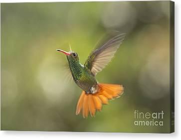 Canvas Print featuring the photograph Rufous-tailed Hummingbird by Dan Suzio