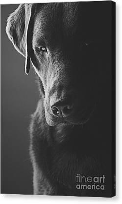 Sad Chocolate Labrador Canvas Print by Justin Paget