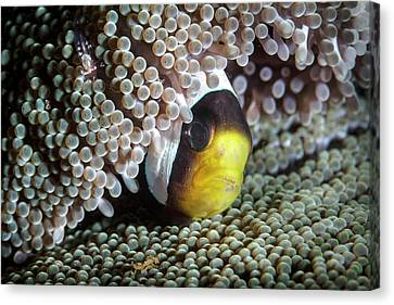 Saddleback Anemonefish Canvas Print by Ethan Daniels