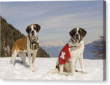 Saint Bernards Canvas Print by Jean-Michel Labat