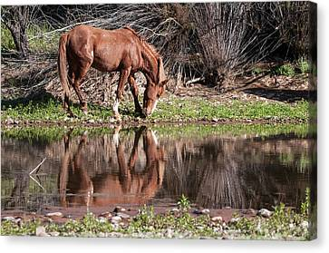 Salt River Wild Horse Canvas Print