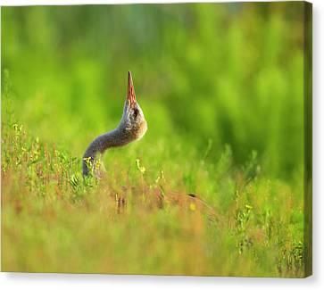 Sandhill Crane Chick Stretching Canvas Print by Maresa Pryor