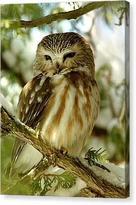 Sawhet Owl Canvas Print