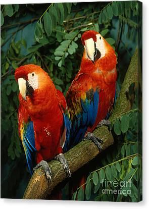 Scarlet Macaw Canvas Print by Hans Reinhard