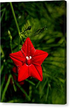 Scarlet Morning Glory Canvas Print by Ramabhadran Thirupattur
