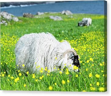 Scottish Blackface On The Isle Canvas Print by Martin Zwick