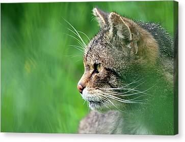Scottish Wild Cat Canvas Print by Alex Hyde
