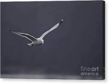 Sea Gull Canvas Print