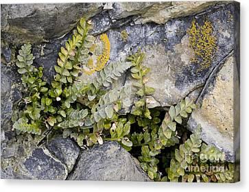 Sea Fern Canvas Print - Sea Spleenwort Asplenium Marinum by Bob Gibbons