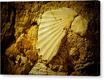 Seashell In Stone Canvas Print by Raimond Klavins