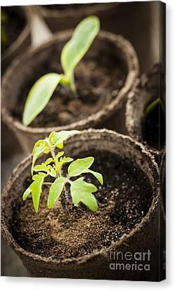 Nurture Canvas Print - Seedlings  by Elena Elisseeva