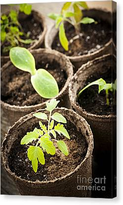 Seedlings Growing In Peat Moss Pots Canvas Print by Elena Elisseeva