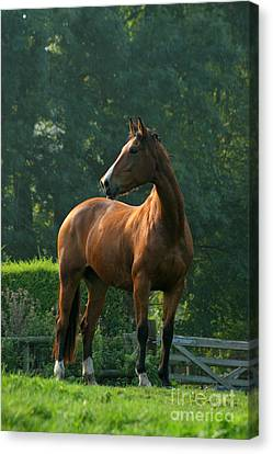 Bay Horse Canvas Print - Sentinel by Angel  Tarantella