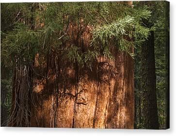 Sequoia Canvas Print by Muhie Kanawati