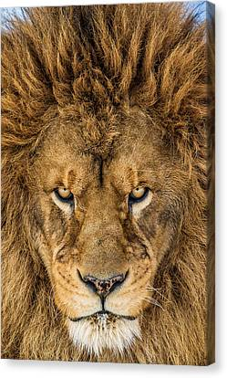 Serious Lion Canvas Print by Mike Centioli