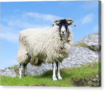 Sheep (cheviot) On The Isle Of Harris Canvas Print by Martin Zwick