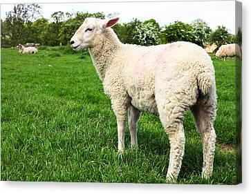 Sheep In Field Canvas Print by Tom Gowanlock