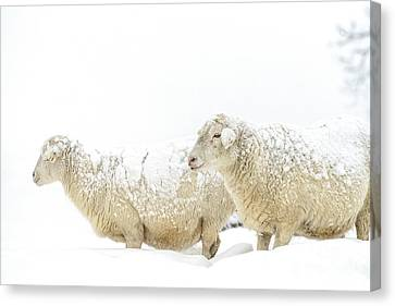 Sheep In Snow Canvas Print