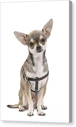 Short-haired Chihuahua Canvas Print