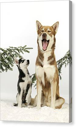 Siberian Husky And Puppy Canvas Print by John Daniels
