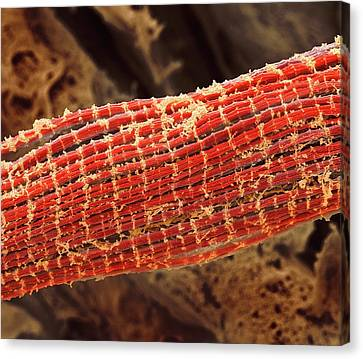 Scanning Electron Microscope Canvas Print - Skeletal Muscle Fibres by Steve Gschmeissner