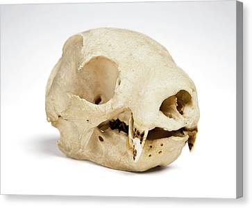 Sloth Skull Canvas Print by Ucl, Grant Museum Of Zoology