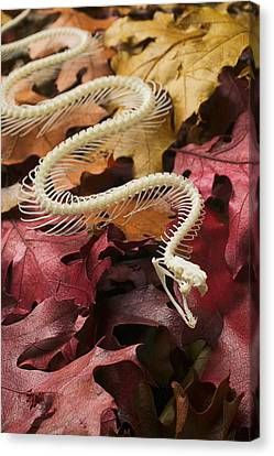 Bones Canvas Print - Snake Skeleton  by Garry Gay