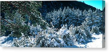 Snow Covered Pine And Fir Trees Canvas Print by Panoramic Images