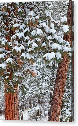 Bough Canvas Print - Snow Fills The Boughs Of Ponderosa Pine by Chuck Haney