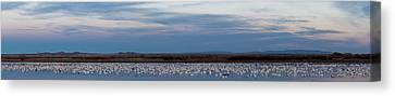 Flock Of Geese Canvas Print - Snow Geese Chen Caerulescens On Large by Panoramic Images