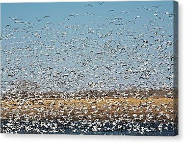 Snow Geese Flock Canvas Print by Jim West