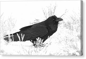 Snow Raven Canvas Print by Britt Runyon
