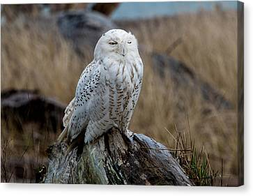 Snowy Owl Canvas Print by David Yack