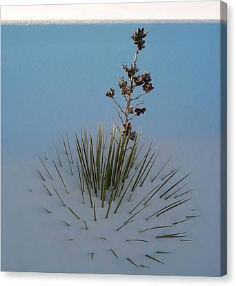 Soaptree Yucca Yucca Elata At Sand Canvas Print