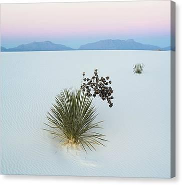 Soaptree Yucca Yucca Elata In Dawn Canvas Print