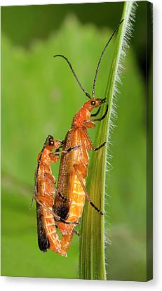 Soldier Beetles Mating Canvas Print