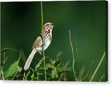 Song Sparrow (melospiza Melodia Canvas Print by Richard and Susan Day