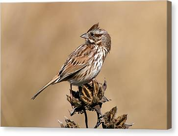 Song Sparrow Canvas Print by Rich Leighton