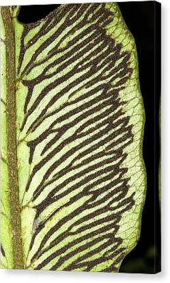 Sori On The Underside Of A Fern Leaf Canvas Print by Dr Morley Read