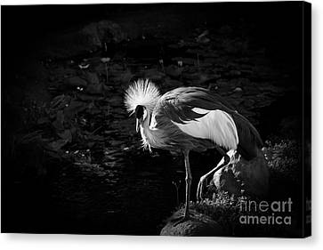South African Grey Crowned Crane Canvas Print by Sharon Mau