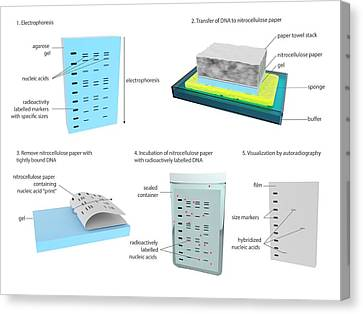 Southern Blot Dna Analysis Canvas Print by Science Photo Library